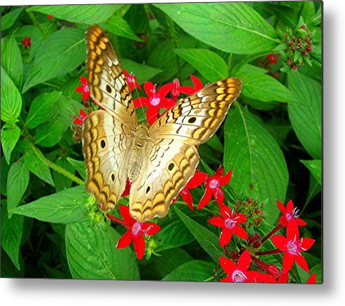 Butterfly Metal Print featuring the photograph Butterfly And Red Star Sprig by Caroline Urbania Naeem