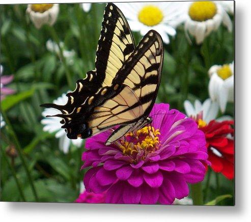 Butterfly Photos Metal Print featuring the photograph Butterfly On Zennia by Ellen B Pate