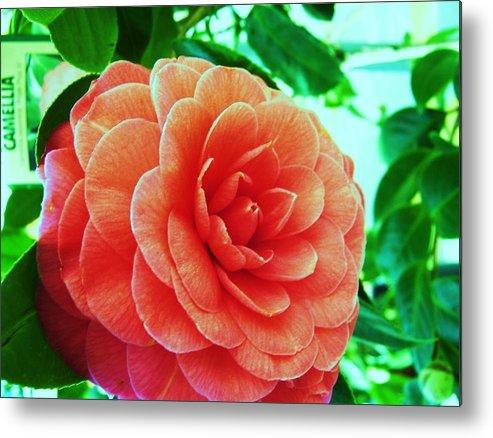 Bella ! Camellia. Metal Print featuring the photograph Camellia by Nereida Slesarchik Cedeno Wilcoxon