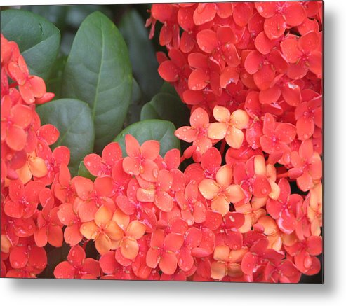Flower Metal Print featuring the photograph Caribbean Beauty by Ginger Howland