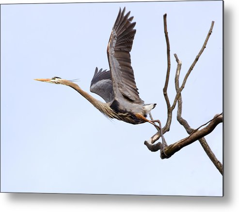 Blue Heron Metal Print featuring the photograph Catching Air by Bonnie DeLap
