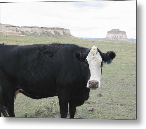 Rural Metal Print featuring the photograph cattle at Pawnee Butte Colorado by Margaret Fortunato