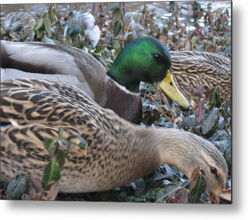 Ducks Metal Print featuring the photograph Central Park Ducks by Jennifer Sweet