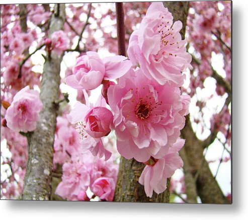 Nature Metal Print featuring the photograph Cherry Blossoms Art Prints 12 Cherry Tree Blossoms Artwork Nature Art Spring by Baslee Troutman