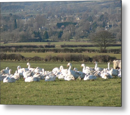 Geese Metal Print featuring the photograph Christmas Geese by Lynne Iddon