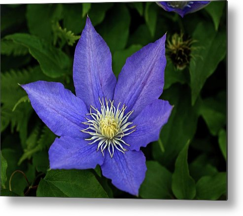Flowers Metal Print featuring the photograph Clematis by Sandy Keeton