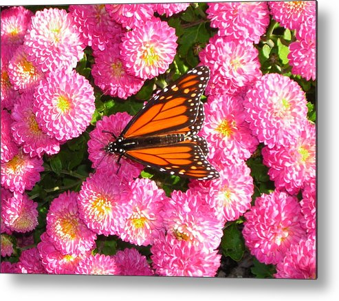 Butterflies Metal Print featuring the photograph Cliff House Butterflies Ll by Heather Weikel