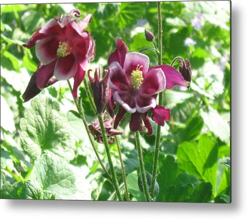 Nature Metal Print featuring the photograph Columbine #2 by Rose Dellinger