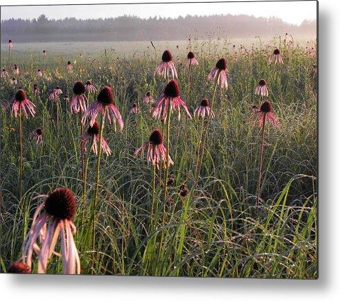 Prairie Metal Print featuring the photograph Coneflowers At Dawn by John Wanserski