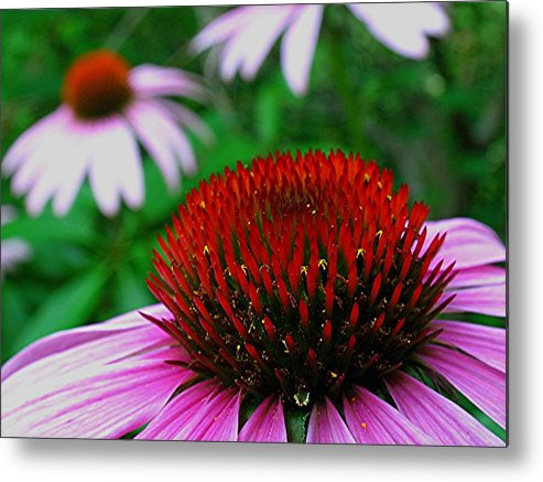 Purple Metal Print featuring the photograph Coneflowers by Juergen Roth