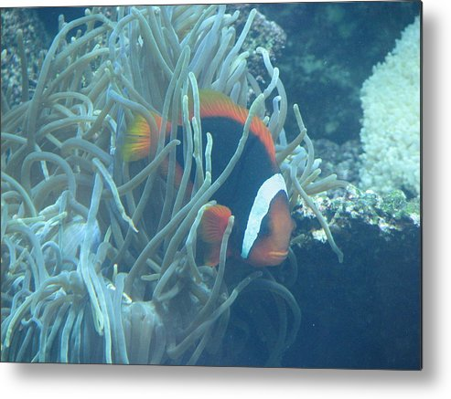 Fish Metal Print featuring the photograph Cousin Of Nemo by April Camenisch