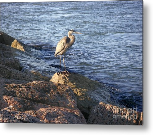 Nature Metal Print featuring the photograph Creatures Of The Gulf - Keeping My Head Down by Lucyna A M Green