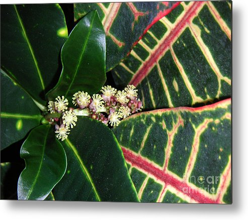 Nature Metal Print featuring the photograph Croton Blooming by Lucyna A M Green
