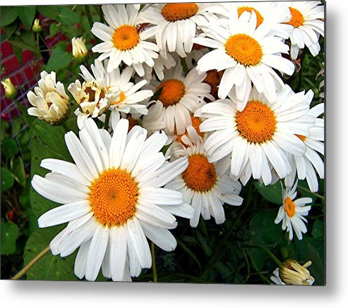 Flowers Metal Print featuring the photograph Crowd Of Daisies by Caroline Urbania Naeem