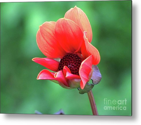 Photography Metal Print featuring the photograph Dahlia On The Verge by Sean Griffin