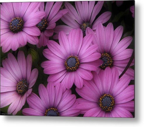 Nature Metal Print featuring the photograph Daisies In Dakota by Ches Black