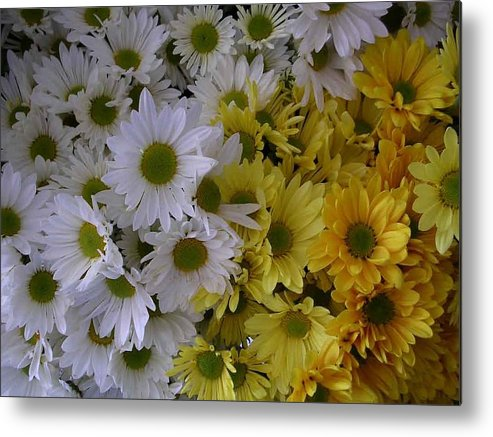 Daisies Metal Print featuring the photograph Daisies by Nancy Ferrier