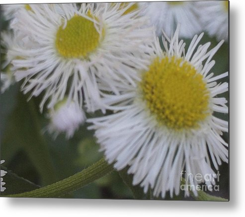 Flowers Metal Print featuring the photograph Daisy by Jessica Roe