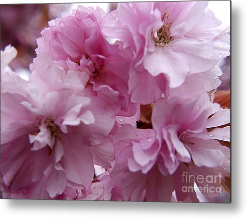 Cherry Metal Print featuring the photograph Dancing In A Springtime Shower by Brenda Kean
