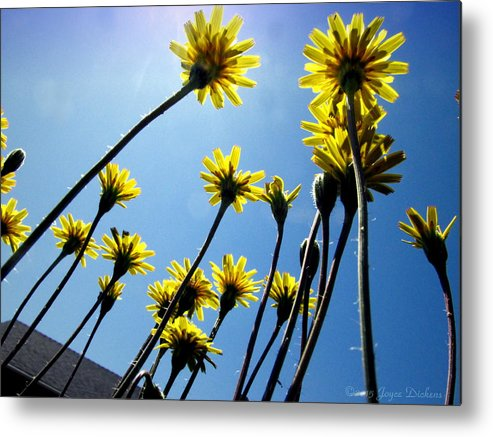 Dandelion Metal Print featuring the photograph Dandelion Forest by Joyce Dickens
