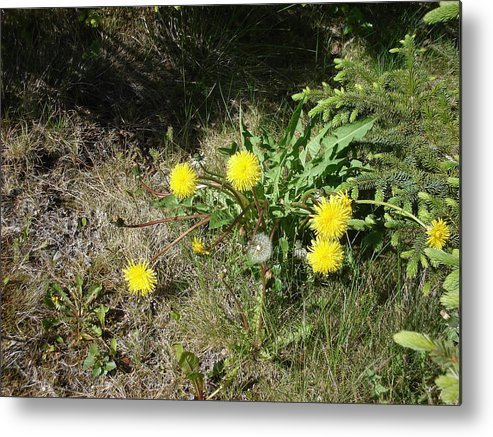 Nature Metal Print featuring the photograph Dandelions by Marilynne Bull