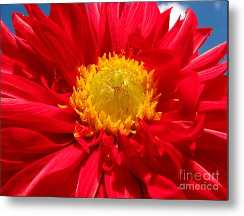Dhalia Metal Print featuring the photograph Dhalia by Amanda Barcon