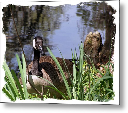 Duck Metal Print featuring the photograph Duck by Ralph Perdomo