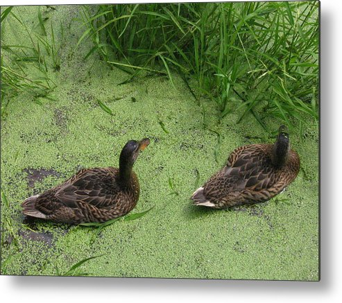 Duck Metal Print featuring the photograph Ducks In Pond by Melissa Parks