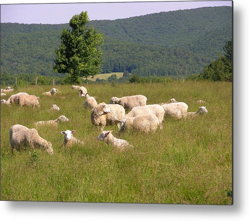 Farms Metal Print featuring the photograph Ewe's Eye View by Peter Williams
