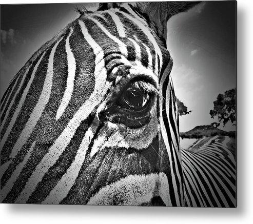 Zebra Metal Print featuring the photograph Eye Level by Douglas Barnard