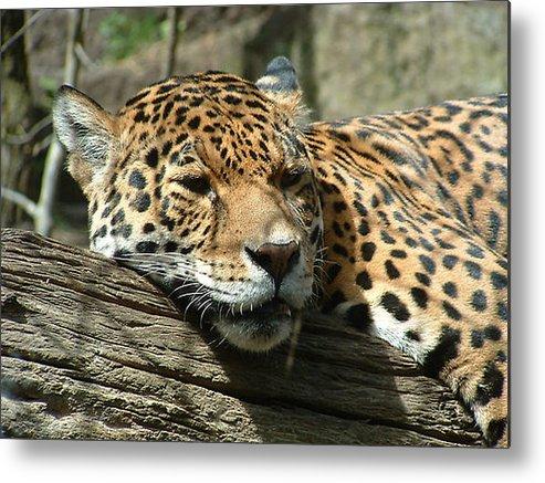 Big Cats Metal Print featuring the photograph Female Jaguar by Paul Boast