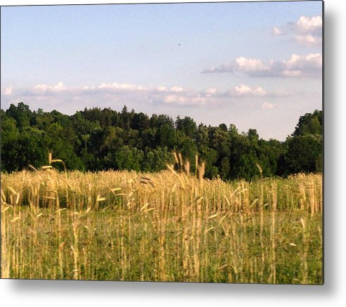 Field Metal Print featuring the photograph Fields Of Grain by Rhonda Barrett