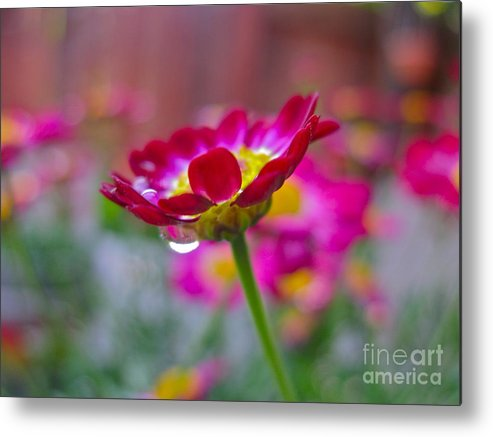 Pink Metal Print featuring the photograph First Rain by PJ Cloud