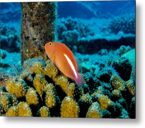 Coral Metal Print featuring the photograph Fish On Coral by Dan Norton