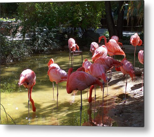 Nature Metal Print featuring the photograph Flamingo Land by Claude Marshall