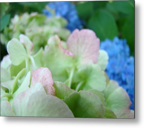 Hydrangea Metal Print featuring the photograph Floral Artwork Hydrangea Flowers Soft Nature Giclee Baslee Troutman by Baslee Troutman