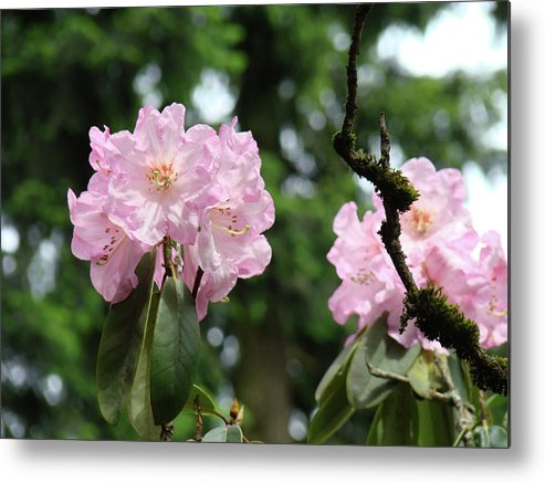Rhodies Metal Print featuring the photograph Floral Garden Pink Rhododendron Flowers Baslee Troutman by Baslee Troutman