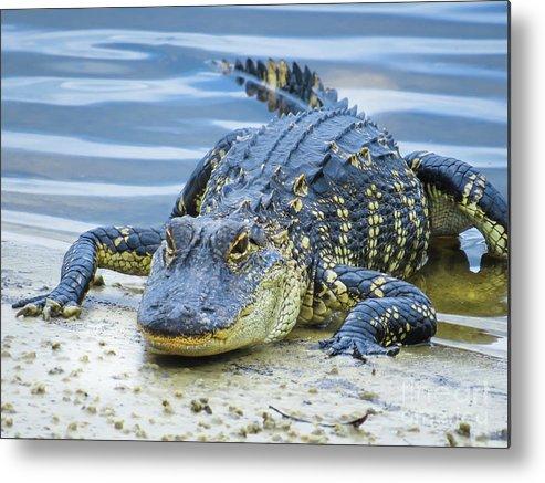 Alligators Metal Print featuring the photograph Florida Alligator Closeup by Zina Stromberg