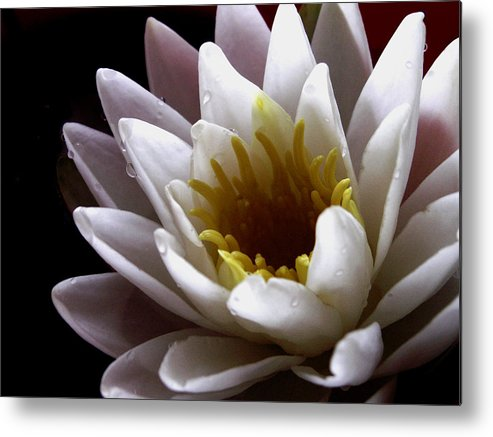 Flowers Metal Print featuring the photograph Flower Waterlily by Nancy Griswold