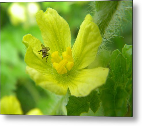 Fly Metal Print featuring the photograph Fly On Flower by Angi Nagel