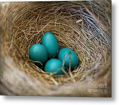 Robin Eggs Metal Print featuring the photograph Four Robin Eggs In Nest by Barbara McMahon