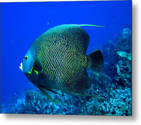 French Angelfish Metal Print featuring the photograph French Angelfish by Stephanie Puttre