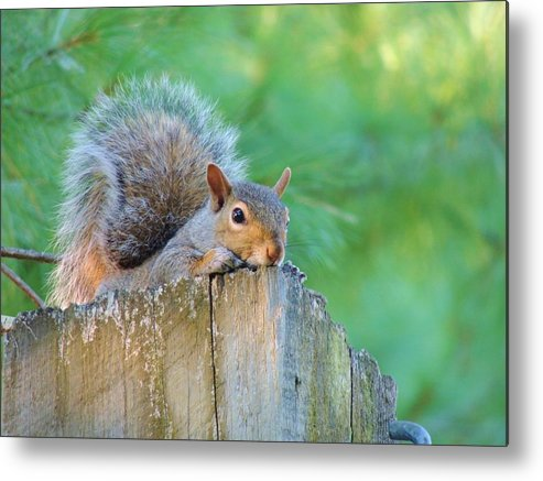 Maine Metal Print featuring the photograph Friendly Squirrel by Lisa Gilliam