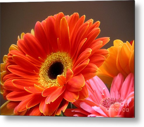 Nature Metal Print featuring the photograph Gerbera Daisies - Luminous by Lucyna A M Green