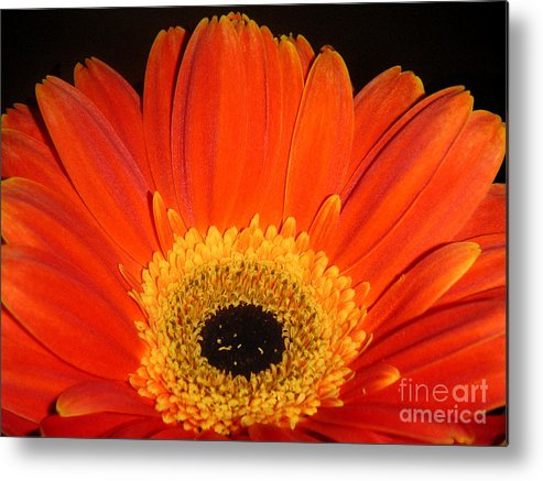 Nature Metal Print featuring the photograph Gerbera Daisy - Glowing In The Dark by Lucyna A M Green