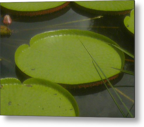 Nature Metal Print featuring the photograph Giant Lily Pads by Sonya Ki Tomlinson