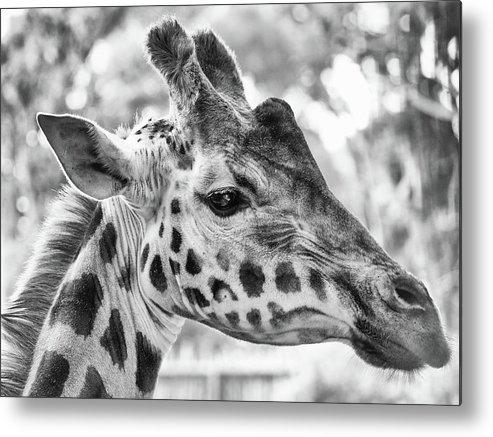 Animal Metal Print featuring the photograph Giraffe Bw by Joshua Wood