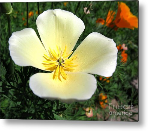 White Metal Print featuring the photograph Glowing Poppy by PJ Cloud