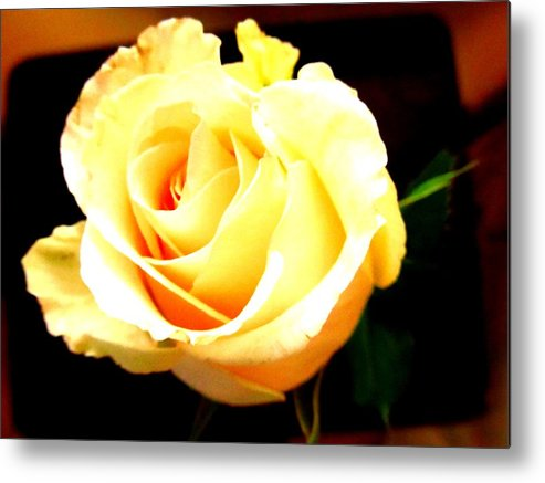 Rose Metal Print featuring the photograph Golden Glow by Kara Trauger