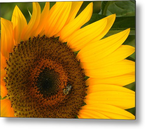 Sunflower Metal Print featuring the photograph Golden Sunflower by Rosalie Scanlon